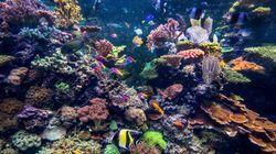 El calentamiento global pone en riesgo la recuperación de la Gran Barrera de Coral