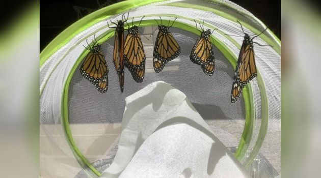 Monarch butterflies that MacLean James raised at her Lions Head, Ont.