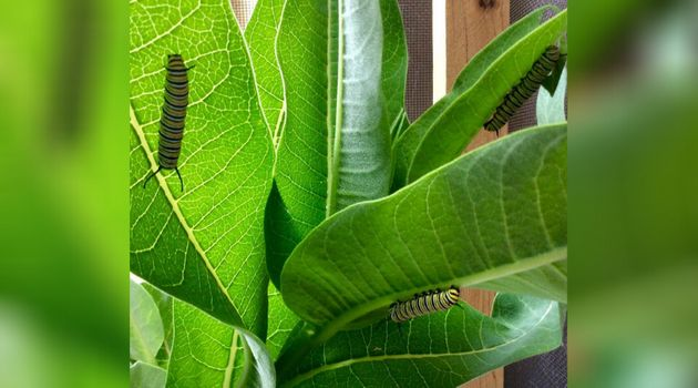 Monarch caterpillars on a plant at Anne MacLean James' house in Lions Head,