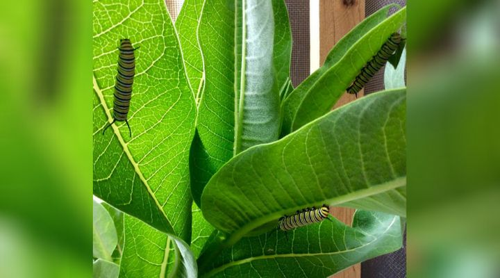 Monarch caterpillars on a plant at Anne MacLean James' house in Lions Head, Ont.