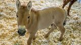 This Sept. 1, 2020 photo provided by San Diego Zoo Global shows Kurt, a tiny horse who is actually a clone. Little Kurt looks like any other baby horse as he frolics playfully in his pen. But the 2-month-old, dun-colored colt was created by fusing cells taken from an endangered Przewalski's horse at the San Diego Zoo in 1980. The cells were infused with an egg from a domestic horse that gave birth to Kurt two months ago. The baby boy was named for Kurt Benirschke, a founder of the San Diego Zoo's Frozen Zoo, where thousands of cell cultures are stored. Scientists hope he'll help restore the Przewalski's population, which numbers only about 2,000.