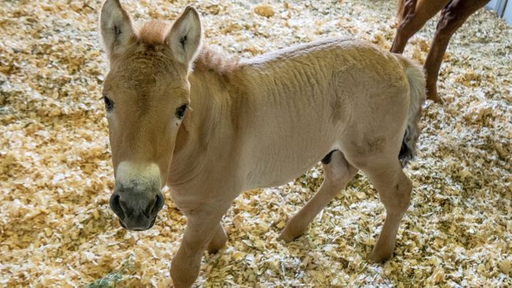 This Sept. 1, 2020 photo provided by San Diego Zoo Global shows Kurt, a tiny horse who is actually a clone. Little Kurt looks