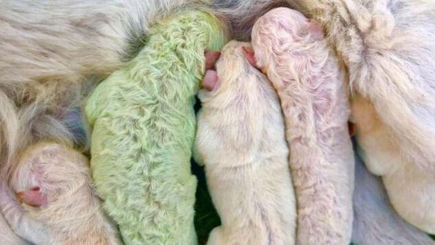 È nato Pistacchio, un Labrador verde.