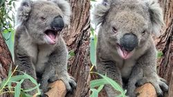 A Beaten Up Koala Reveals The 'Roar' Sound He Makes And People Are Very
