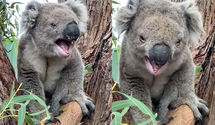 George the bellowing koala (above, in both photos) is showing people via the internet what koalas really sound like.