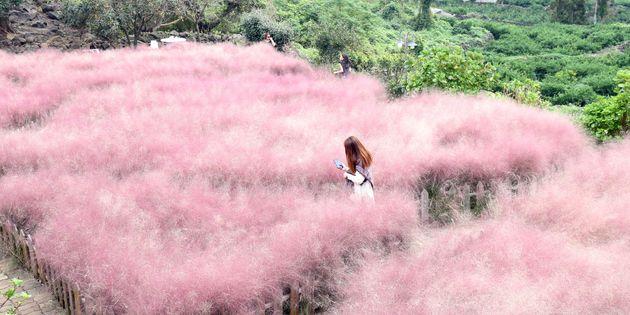 9월 27일 오후 제주 서귀포시 안덕면의 한 카페에서 관광객들이 활짝 핀 핑크뮬리를 구경하고