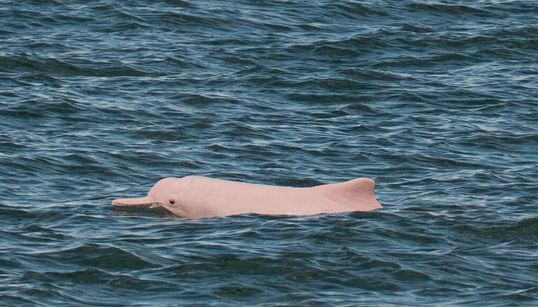 「幸運のシンボル」ピンクイルカが香港に帰ってきた。コロナ禍のフェリー運航停止が影響か