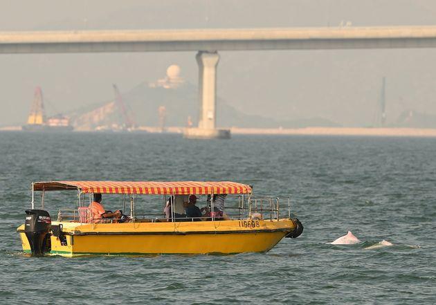 香港とマカオの間の海峡に戻ってきたピンクイルカ(2020年9月20日撮影)