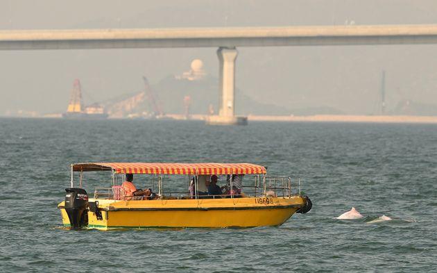 Σπάνια ροζ δελφίνια απολαμβάνουν την ησυχία των νερών στο Χονγκ
