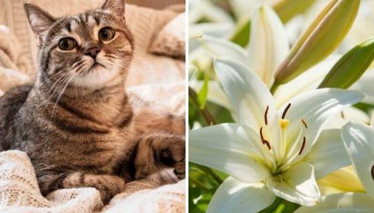 中毒死する危険も...猫の飼い主に「ユリ科植物は置かないで」。獣医師の警告ツイートが話題【UPDATE】