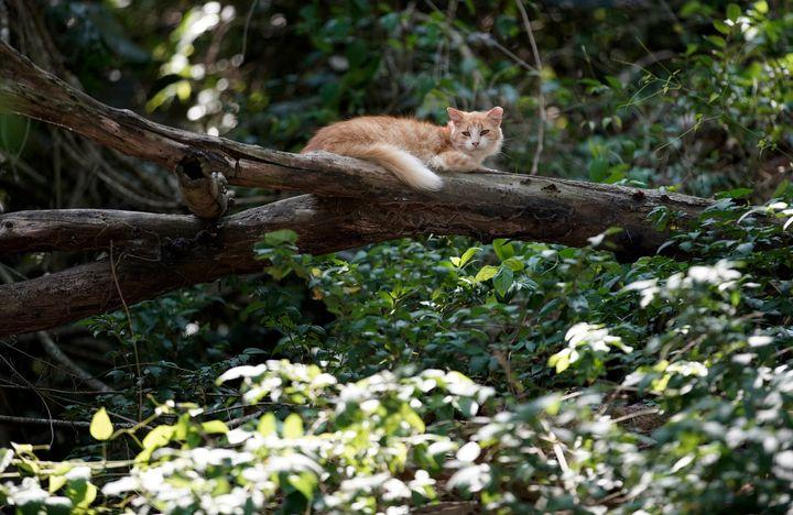 A cat seen on a tree branch at the Furtada Island in Mangaratiba, Brazil, Tuesday, Oct. 13, 2020.