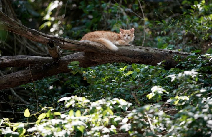 A cat seen on a tree branch at the Furtada Island in Mangaratiba, Brazil, Tuesday, Oct. 13, 2020.