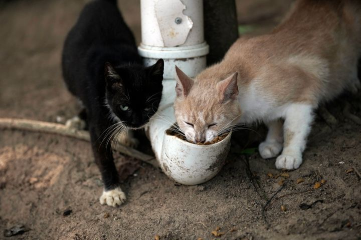 Furtada Island cats eat food taken by volunteers and dispensed from PVC pipes.