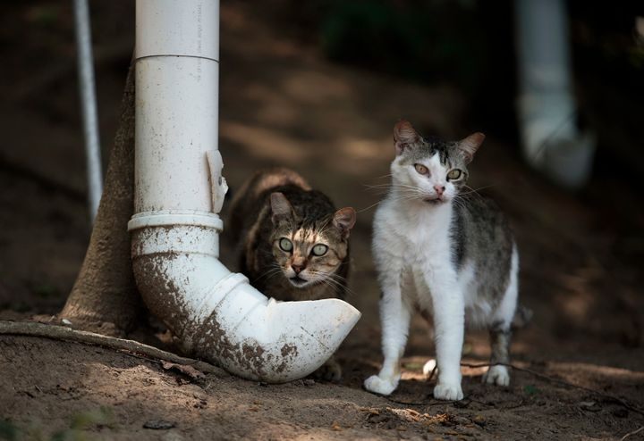 Cats eating from makeshift, PVC-pipe food dispenser filled up by volunteers from Animal Heart Protectors on Furtada Island.
