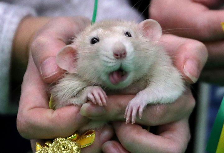 A rat in St. Petersburg, Russia.