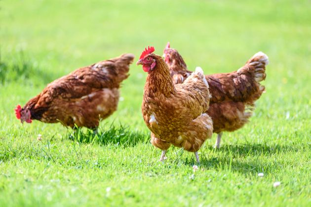 The chickens began as family pets (file
