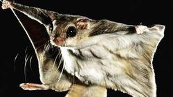 En Floride, un trafic illégal d'écureuils volants