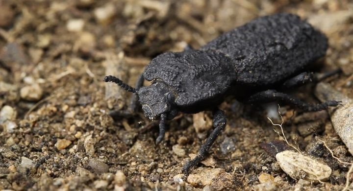 The diabolical ironclad beetle can withstand being crushed by forces almost 40,000 times its body weight and are native to de