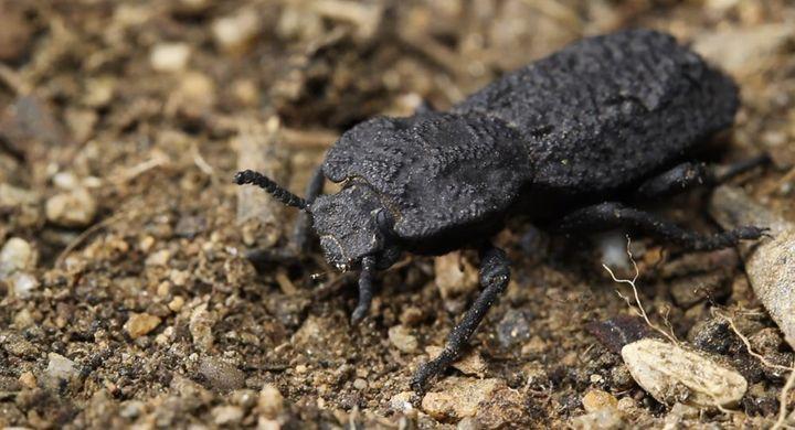 El diabólico escarabajo acorazado puede soportar ser aplastado por fuerzas de casi 40.000 veces su peso corporal y son nativos de de