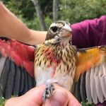 体の左半分はメス、右はオス。「ユニコーン」のように珍しく美しい翼の鳥、アメリカの保護区で見つかる