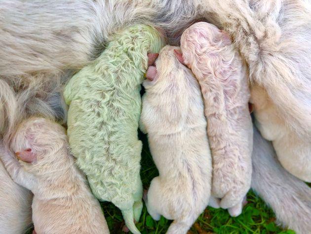 緑色の毛の子犬「ピスタチオ」(2020年10月9日)