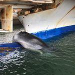 フェリーに引っかかったのは大人のクジラ。引き揚げてみたら大きさに驚き(画像)