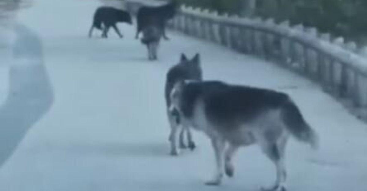 Sur cette route des Alpes-Maritimes, ils se retrouvent au milieu d'une meute de loups