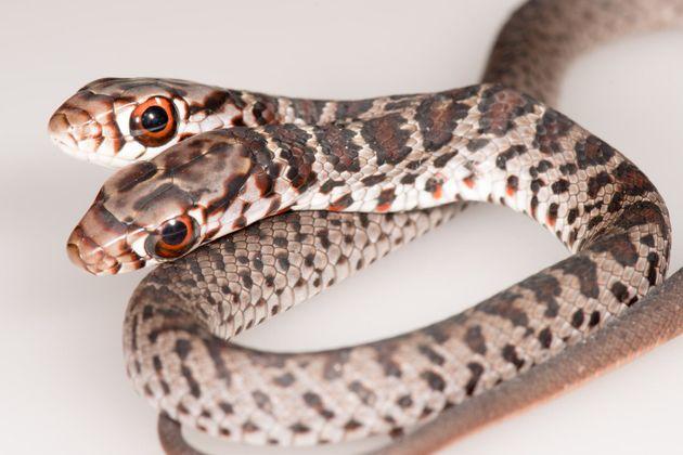 ヘビの種類は「サザンブラックレーサー」と呼ばれる