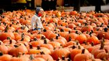 A boy wears a face mask as he looks around pumpkins at the Didier Farms in Lincolnshire, Ill., Thursday, Oct. 15, 2020. The pumpkin patch reopens with COVID-19 restrictions such as requiring face masks while waiting in lines or anywhere you can't maintain 6 feet of distance, and they are providing sanitizer. (AP Photo/Nam Y. Huh)