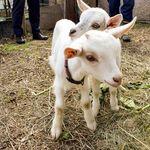 除草にヤギ派遣、月4950円に予約殺到 環境にも優しい