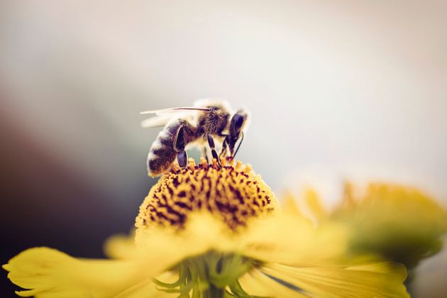 Honeybee collecting pollen from a