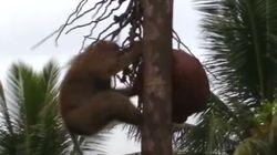 코스트코가 원숭이 강제 노동으로 만든 코코넛밀크를 판매금지 한다