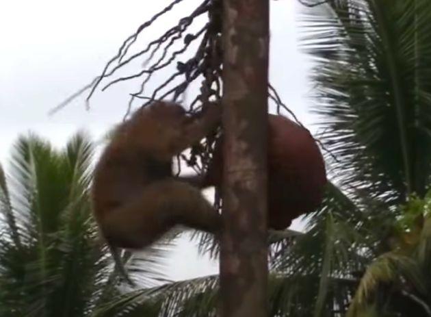 PETA에 따르면, 태국의 원숭이들은 코코넛을 수확하도록 강요 받고