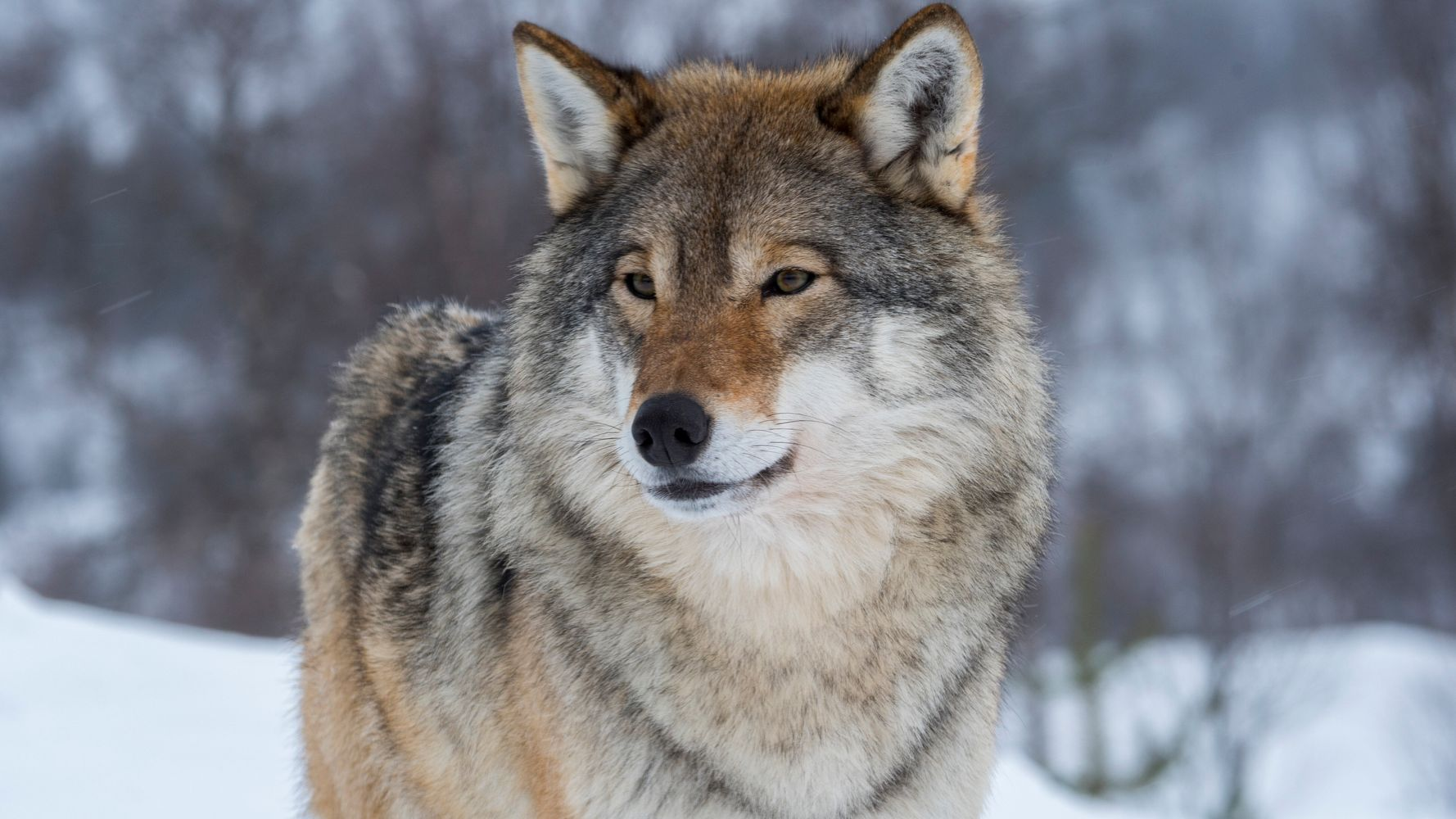 Trump Administration Boots Gray Wolves From Endangered Species List