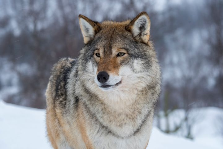 The U.S. Fish and Wildlife Service has announced that Endangered Species Act protections will be lifted for gray wolves acros