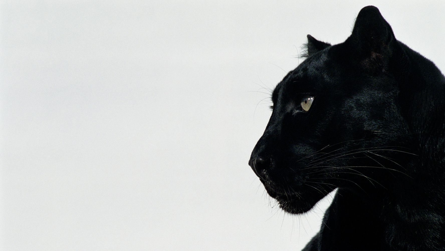 Black Leopard Mauls Florida Man Who Paid To Have Pictures Taken