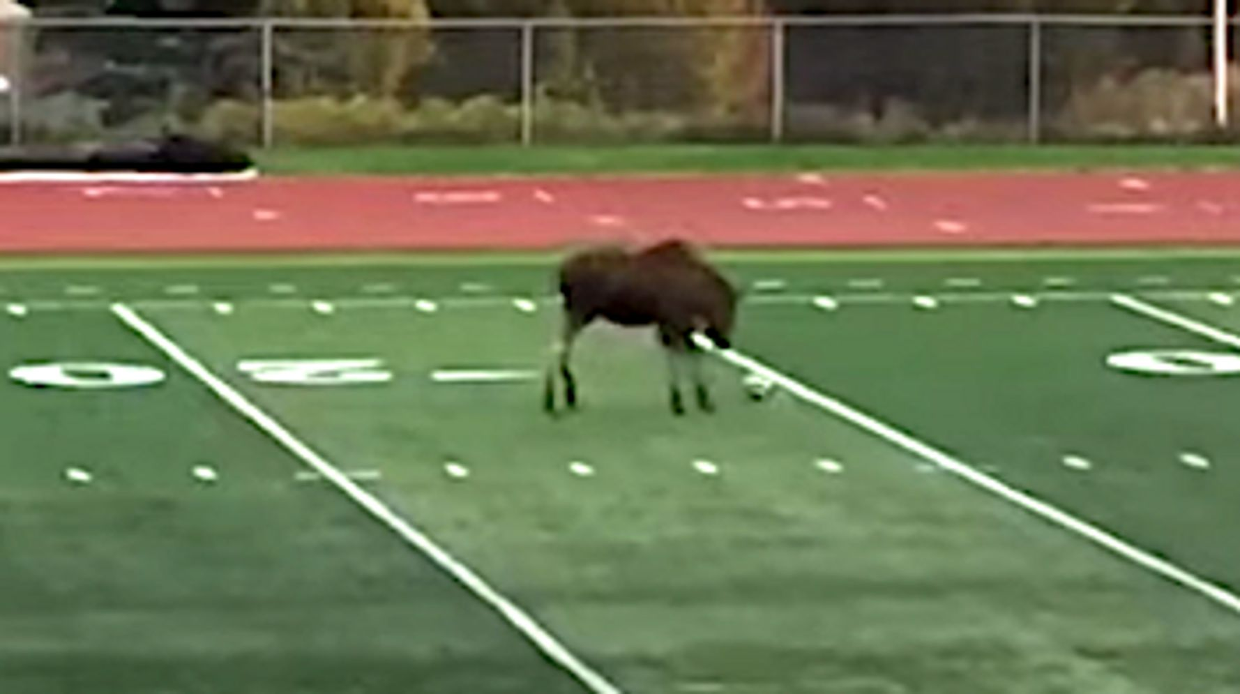 You Aren't Ready For This Soccer-Playing Moose