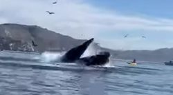 In Other News: 2 Kayakers Were Almost Swallowed By A Whale. The Video Is