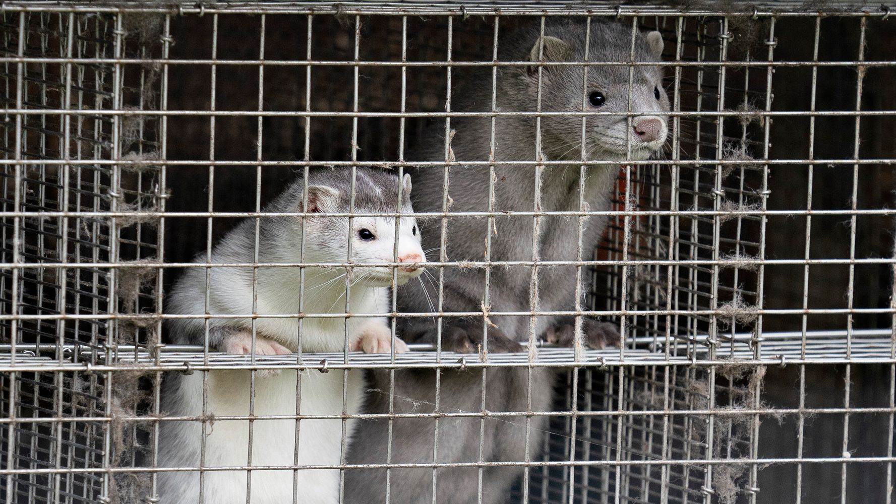 Denmark Plans To Kill All Of Its Minks On Fur Farms Over COVID-19 Fears