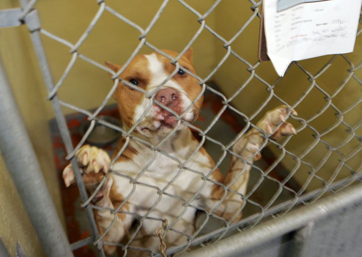 A pit bull stands on its hind legs at the Denver Animal Shelter. For the past 30 years, the city has banned pit bulls, forcin