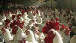 Face à la grippe aviaire, 46 départements confinent leurs volailles (mais n'ayez pas