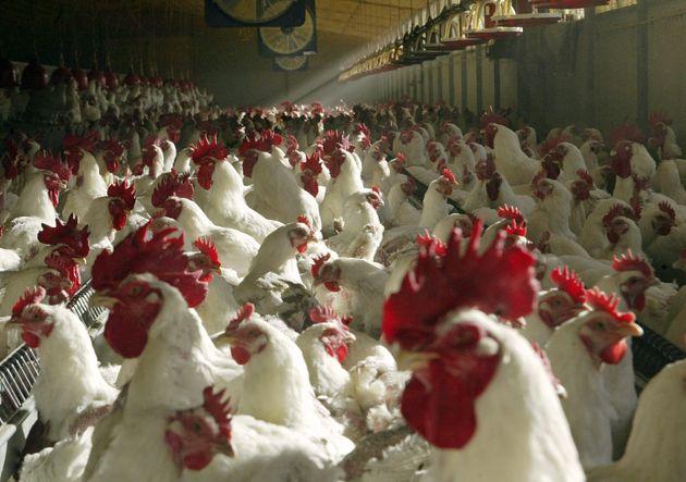 La grippe aviaire inquiète les élevages français. (Photo d'illustration: des coqs...
