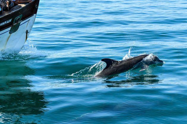 Δελφίνια στον Αμβρακικό
