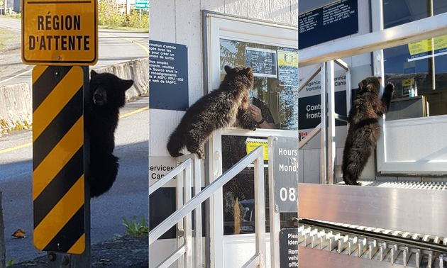 Images shared to the Canadian Border Services Agency Twitter account showing a young black bear attempting...