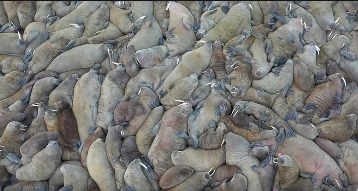 Scientists in northern Russia have discovered a huge walrus haulout on the shores of the Kara Sea where their habitat is unde