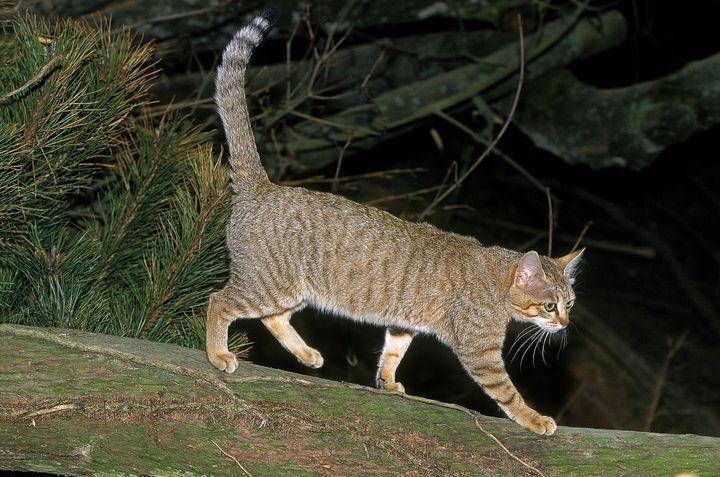 칼라하리 사막의 아프리카 야생 고양이