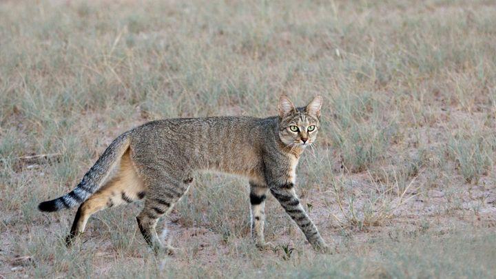 길고양이부터 품종 고양이까지 모든 고양이는 북아프리카의 야생 고양이 펠리스 리비카(위 사진)의 직계 후손이다. 고양이는 직계 조상에 견줘 다리가 짧아졌고 사료와 음식 찌꺼기를 먹은 결과 창자가 길어졌다. 또 다른 가축에서처럼 공포반응이 줄어들면서 뇌의 크기가 25% 축소됐다. 사람과 소통하느라 야옹 소리도 듣기 좋은 쪽으로 바뀌었다.