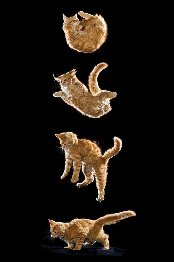 고양이 '정위 반사' 연속 동작. 지상 90㎝ 이상의 높이에서 떨어진 고양이는 머리와 다리를 차례로 돌리고 다리를 뻗은 뒤 충격을 어깨와 척추로 흡수하는 반사 동작을 펼친다. 모든 고양이가 추락 후 안전한 것은 아니어서 높은 곳에서 떨어진 고양이가 골절 등 심각한 부상이나 사망에 이른 사례도 적지 않다.