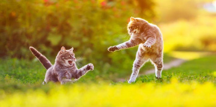 고양이 두마리가 높이 뛰어오르며 놀고있다.
