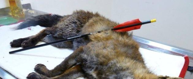 Metropolitan Police have issued an appeal for information after three foxes were shot with a crossbow in Greenwich, London.